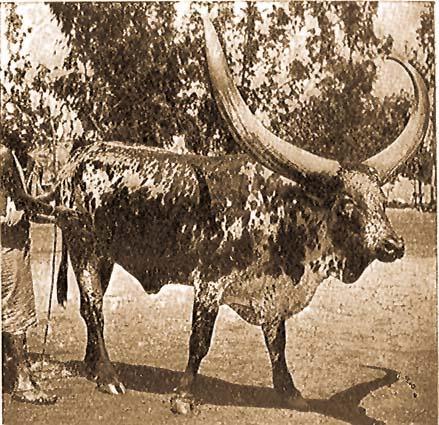 a szarvasmarha-gyűrű testének mérete)