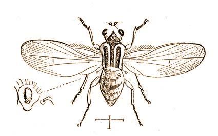 2. ALREND: Kerekrésűek vagy kupakosbábúak (Cyclorrhapha