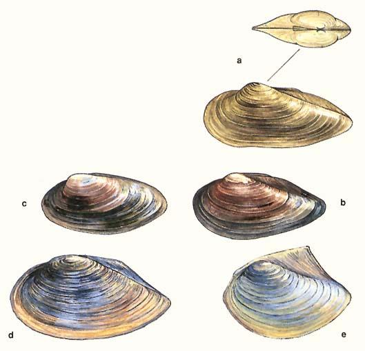 """Képtalálat a következőre: """"közönséges kagylók"""""""